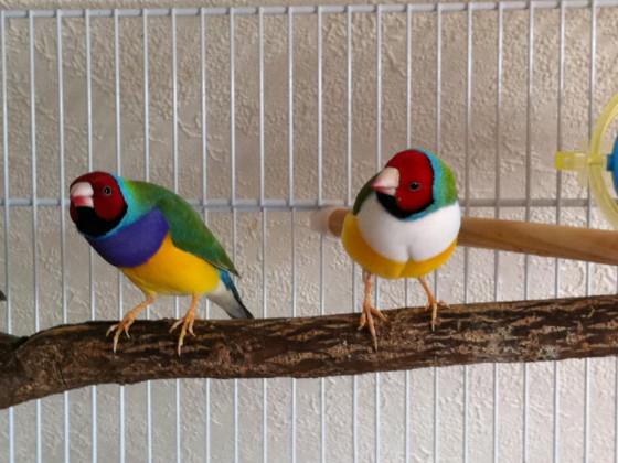 Meine 4 Gouldamadinen Vögel