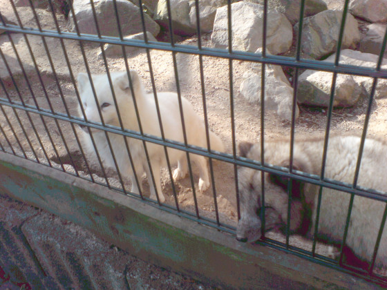 Polarfüchse^^