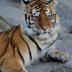 Kleiner Tiger schon fast ganz groß