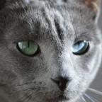 Russisch-Blau Katerle