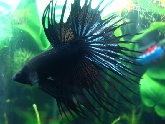 Linus der Kampffisch