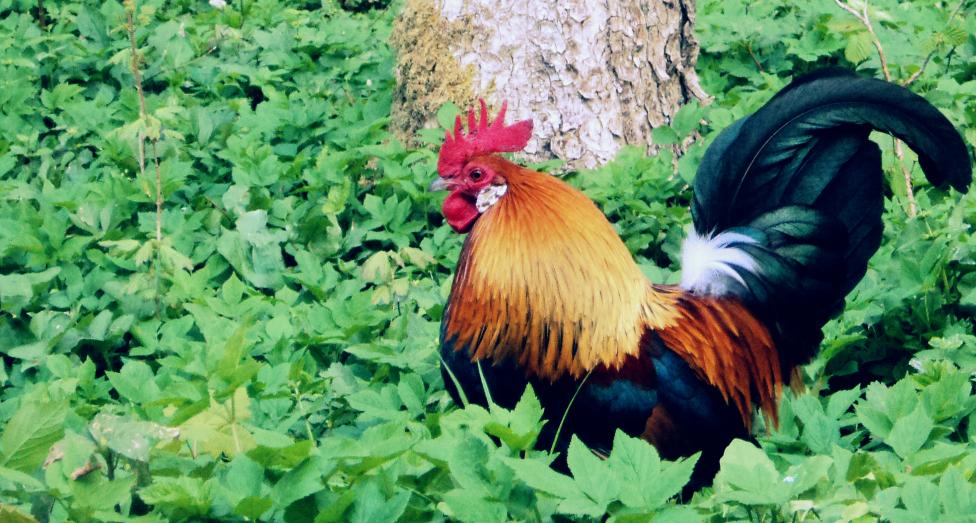 Tiere Wettbewerb - Hahn