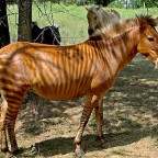 Zorse an little zebrahorse