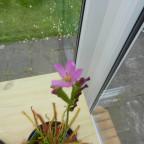 ersten Blüten meines Sonnentaus