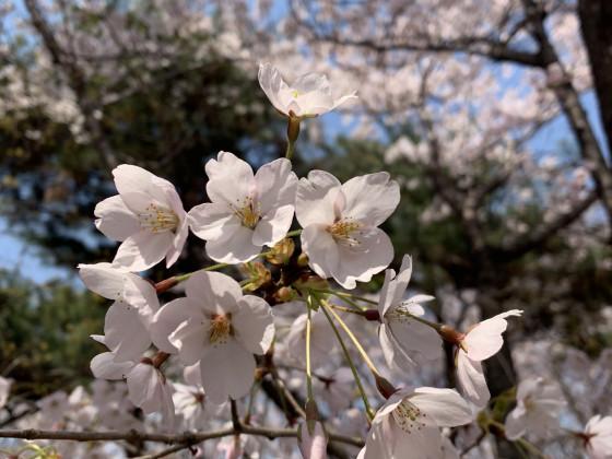 Kirschblüten , Südkorea April 2019