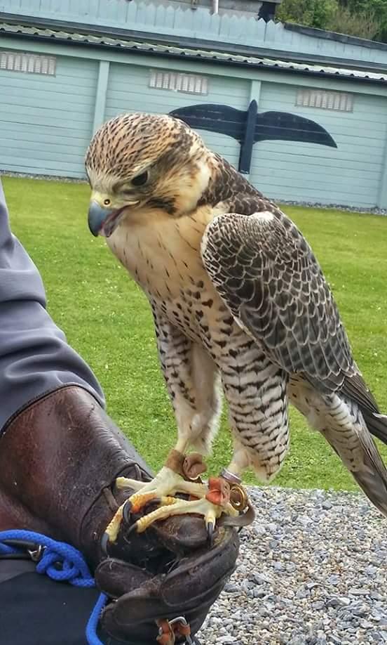 Irland - Falke