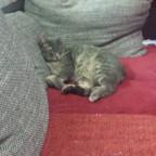 Seltene Komaki auf der Couch