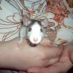 Mamas Ratte Fibie
