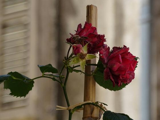 !rose [...]