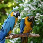 Zwei-Papageien