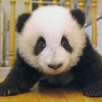 baby_panda_018