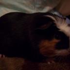 Flocky, mein neues Meerschweinchen
