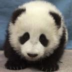 20393-panda